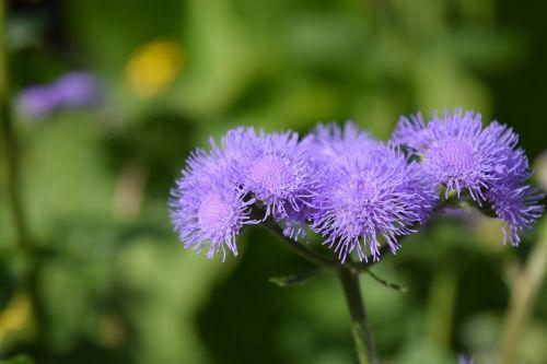 ageratum houstonianum ageratum flowers