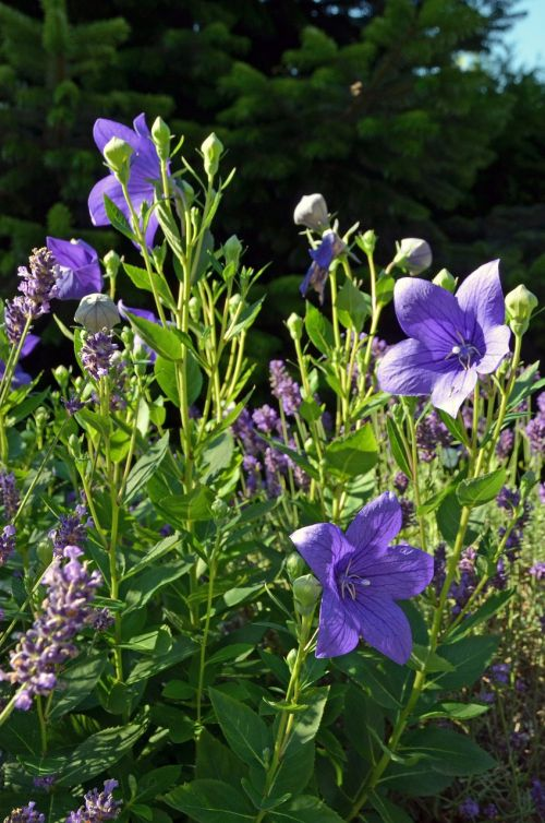 flowers balloon flower chinese bellflower