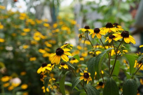 flowers dacha yellow