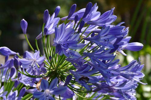 gėlės,mėlynas,vasara,žydėti,žiedas,žydėti,gamta,Uždaryti,mėlyna gėlė,flora,spalvinga