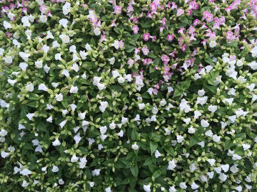 flowers white floret