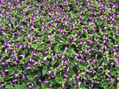 flowers blue-violet floret