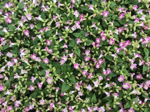 flowers pink floret