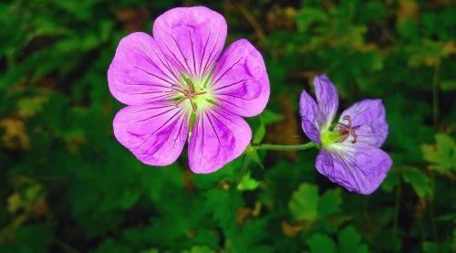 flowers geranium geranium sanguineum