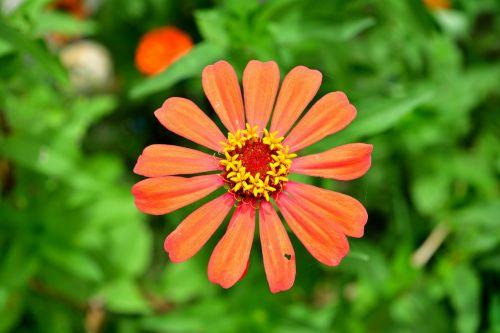 flowers orange flower zinnia