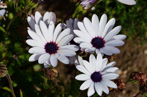 african daisy flowers margaritas