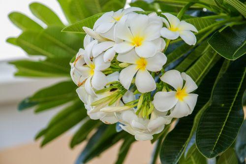 flowers frangipani flowers frangipani