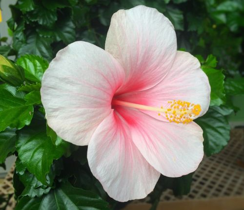 flowers hibiscus southern countries