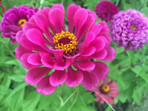 gėlės,dahlia,raudona,raudona raudona,rožinis,raudona violetinė,geltona,tvirtas,žalias,lapai,Heisei-cho,umikaze parkas,geliu lova,Yokosuka,Japonija,vasara
