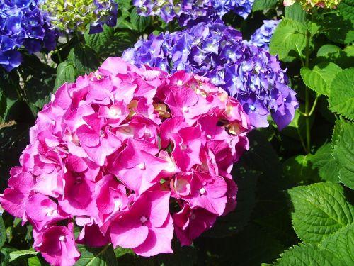 flowers hortensia fuchsia