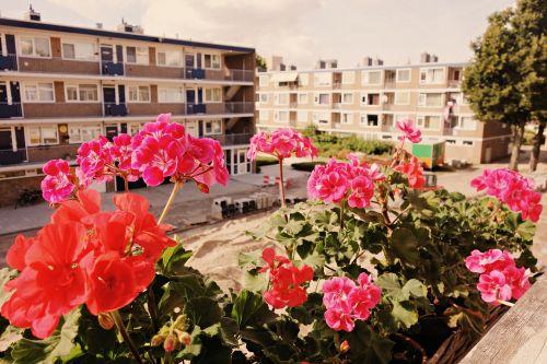 flowers geranium sill