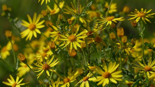 flowers meadow yellow