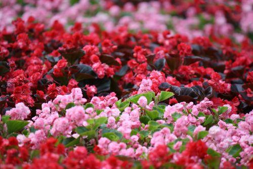 gėlės,geliu lova,sodas,gamta,pavasaris,parkas,Uždaryti,atsipalaidavimo,rožinis,lapai,pavasario gėlė,augalas