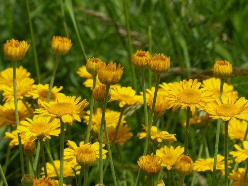 gėlės,geltona,laukinės gėlės,laukinis augalas,anthemis tinctoria,cota tinctoria,dyer hundskamille,kompozitai,asteraceae,faerberpflanze,gėlių krepšelis,aukso geltona,liežuvis,vamzdinės gėlės,aštraus gėlė