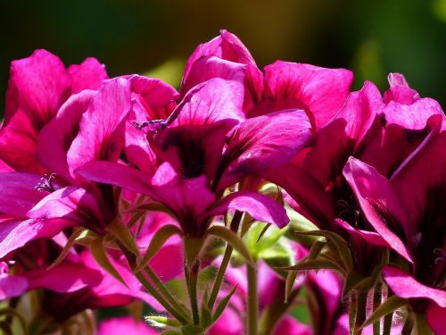 flowers pink red