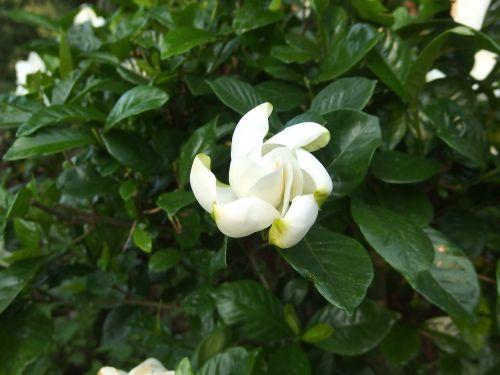 flowers white screw