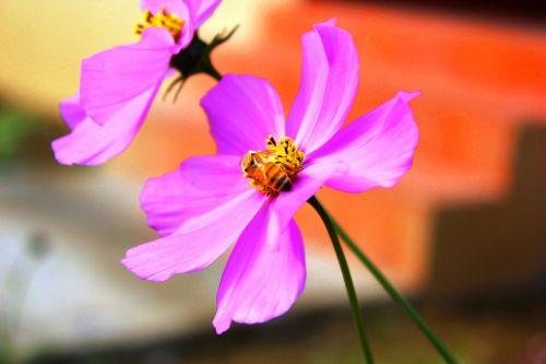 flowers cosmos nepal