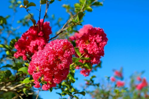 flowers lagerstroemia indica myrtle