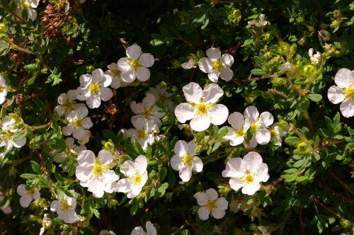 gėlės,švelnus,balta,vasara,šviesa,šešėlis