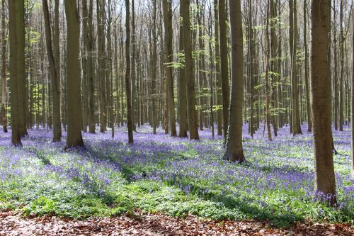 flowers bluebell trees