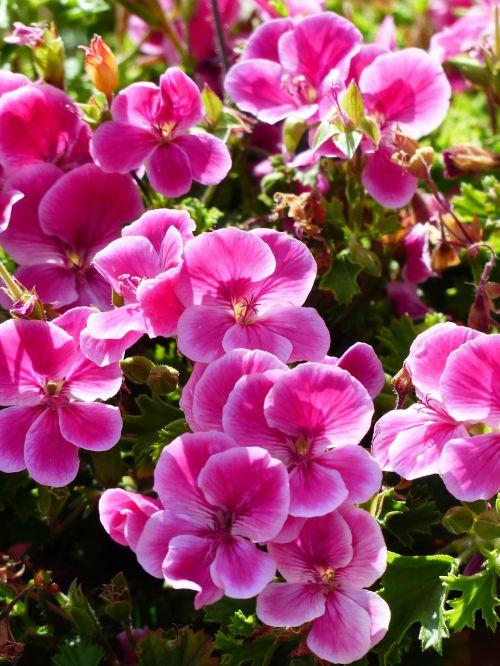 flowers pink geranium