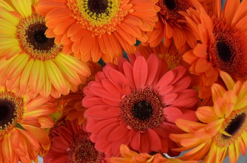 transvaal daisy flowers gerberas