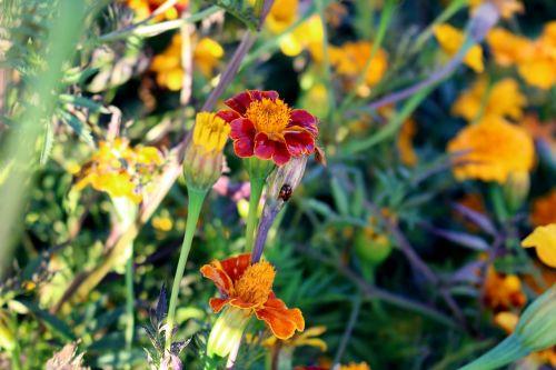 flowers marigold marigolds