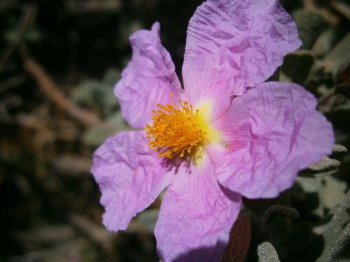 flowers jara steppe