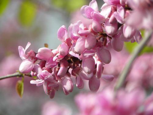 flowers rosa flowering