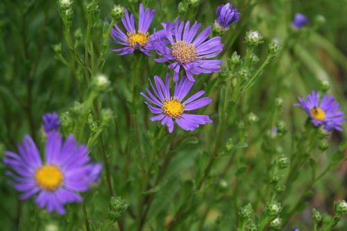 flowers violet purple flowers