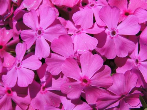 gėlės,violetinė,švelnus,švelnus,vasara,Uždaryti,violetinė gamta,maža gėlė,purpurinė gėlė