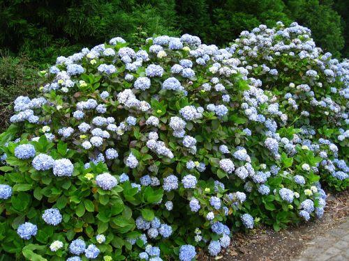 flowers hortensia flower