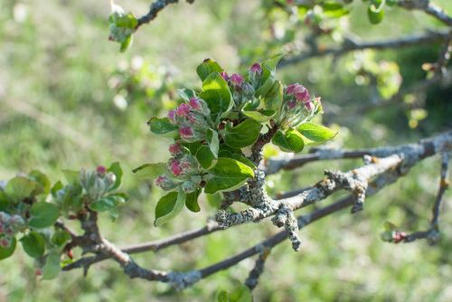 flowers apple tree the buds