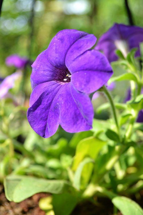 flowers flower purpleflower