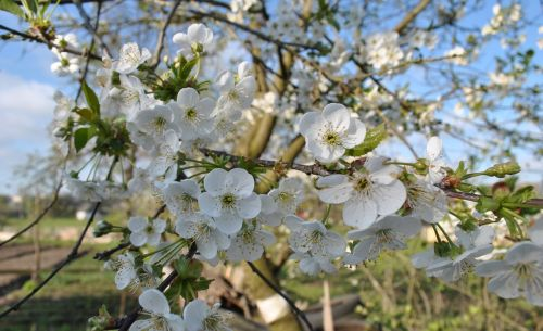 flowers apple tree spring