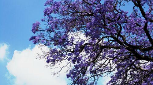 flowers jakaranda purple