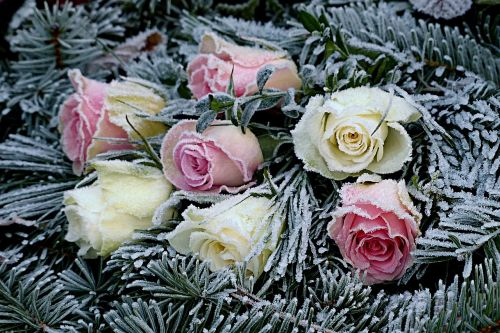 flowers roses firs
