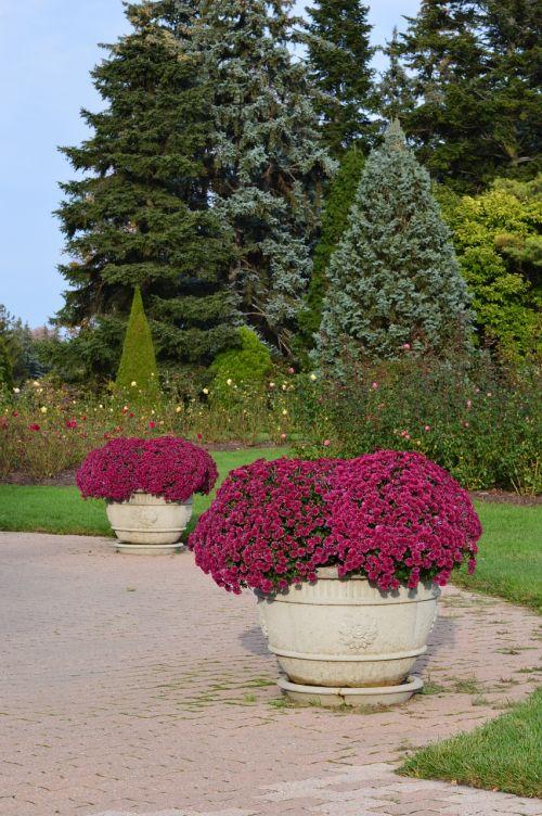 flowers mums garden