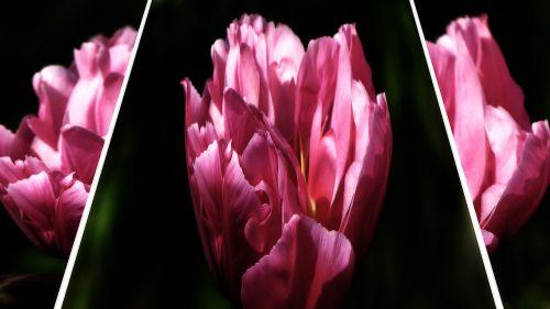 gėlės,pavasaris,rožinė gėlė,gamta,rožinis,sodas,raudona,žiedas,žydėti,augalas,purpurinė gėlė,žydintys stiebai,gražus,flora,vasara,spalva,žydėti,flanzen,gėlė violetinė,vasaros gėlės,violetinė,violetinė,violetinė gamta,Uždaryti,makro,žiedlapiai,tulpė,tulpės,datailaufnahme,koliažas,Iš arti,žinoma,makro nuotrauka,apšvietimas