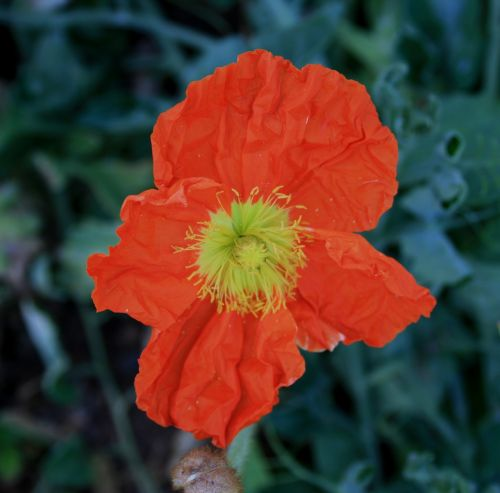 gėlės,žydi,aguonos,iceland,tamsiai oranžinė,trapi,žalias,laimingas