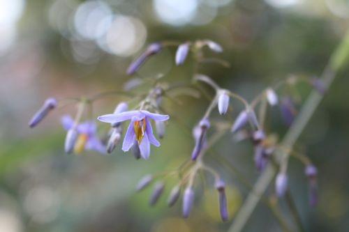 gėlės,violetinė,mažas,maža gėlė,Uždaryti,violetinė,žiedas,žydėti,gamta,purpurinė gėlė,augalas,gėlė violetinė,vasara,pavasaris