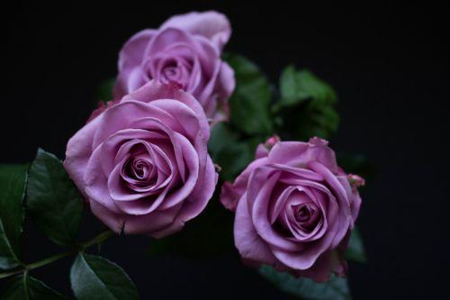 flowers rose purple