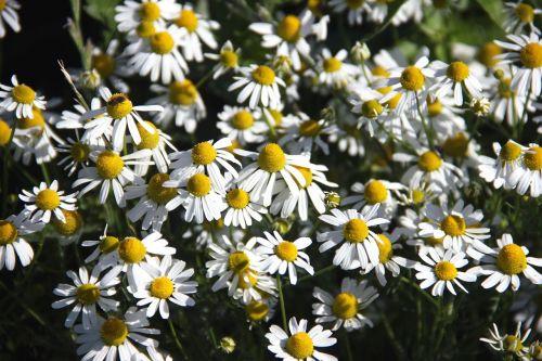 flowers false chamomile plant