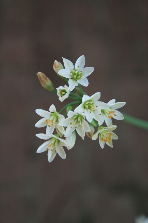 flowers garlic small
