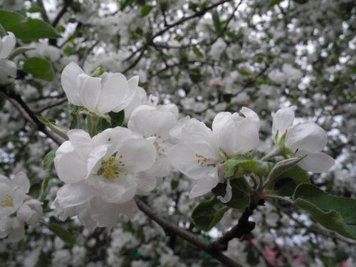 flowers apple tree apple blossoms