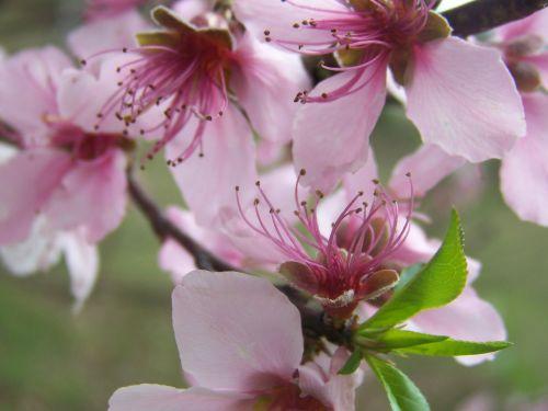 flowers pink blooms