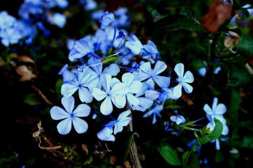 flowers bluebush plumbago