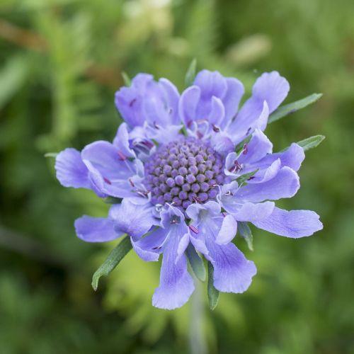 flowers purple scabiosa