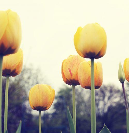 flowers tulips yellow