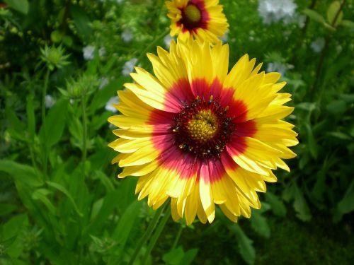gėlės,marigoldas,sodas
